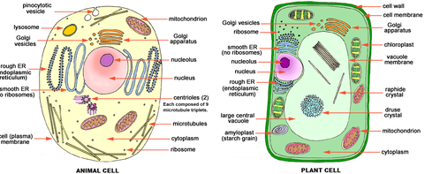 plant-and-animal-cell-fill-in-the-blank.png